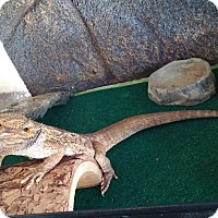 Adopt A Pet :: Spots, a bearded dragon - Bristow, VA