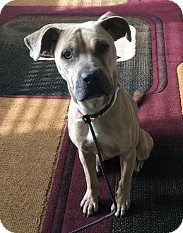 Shar Pei/Pit Bull Terrier Mix Dog for adoption in Englewood, Colorado - Genie