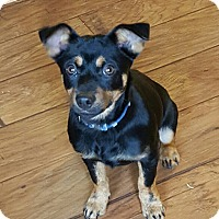 Adopt A Pet :: Shadow (POM-CR) - Hagerstown, MD