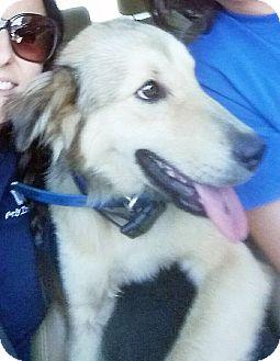 Golden Retriever Mix Dog for adoption in BIRMINGHAM, Alabama - Hollis