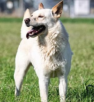 Spitz (Unknown Type, Medium) Mix Dog for adoption in Hudson, New Hampshire - Spooky