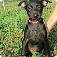 Whippet/Miniature Pinscher Mix Puppy for adoption in Pennigton, New Jersey - Clarence