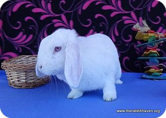 Lop, Holland for adoption in Scotts Valley, California - Maia