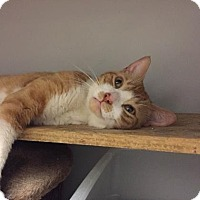 Domestic Shorthair Cat for adoption in New York, New York - Roscoe