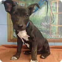 Pit Bull Terrier Mix Puppy for adoption in San Bernardino, California - URGENT on 10/15 SAN BERNARDINO