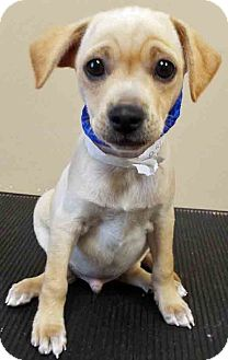 Chihuahua/Terrier (Unknown Type, Small) Mix Puppy for adoption in Oswego, Illinois - Ross