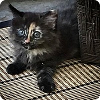 Domestic Mediumhair Kitten for adoption in Gainesville, Florida - Julep