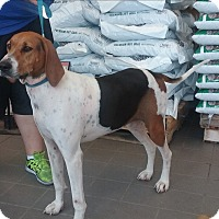 Treeing Walker Coonhound Dog for adoption in Olivet, Michigan - Dolly