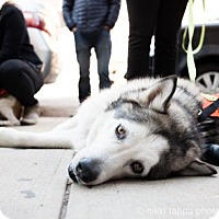 Alaskan Malamute Mix Dog for adoption in Brooklyn, New York - Ralph Fiennes