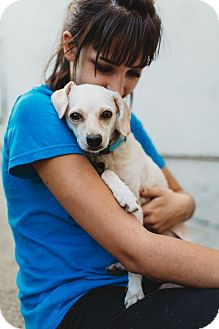Chihuahua/Terrier (Unknown Type, Medium) Mix Dog for adoption in Chino Hills, California - Catarina - Claremont