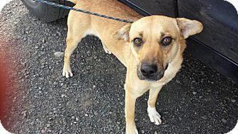 German Shepherd Dog/Beagle Mix Dog for adoption in Kirkland, Washington - Libby