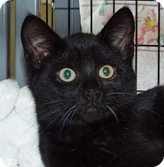 Siamese Kitten for adoption in Grants Pass, Oregon - Emma