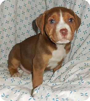 Plott Hound/Pit Bull Terrier Mix Puppy for adoption in Fairmont, West Virginia - Creek (Troll Litter)