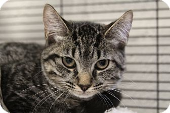 Domestic Shorthair Cat for adoption in Sarasota, Florida - Cleo