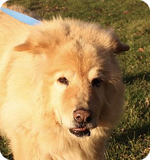 Chow Chow Mix Dog for adoption in Jackson, Michigan - Willie