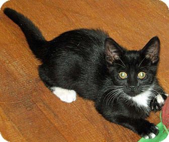 Domestic Shorthair Kitten for adoption in Kansas City, Missouri - Satin