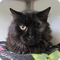 Domestic Longhair Cat for adoption in Cumberland, Maine - Calvin
