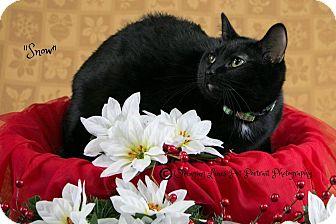 Domestic Shorthair Cat for adoption in Davison, Michigan - Snow