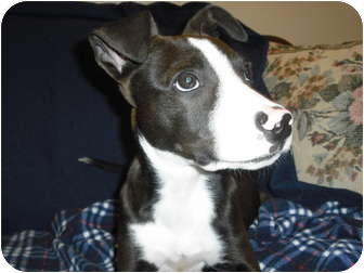 Pit Bull Terrier Mix Puppy for adoption in Wickenburg, Arizona - Murphy