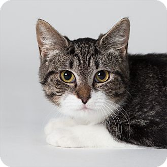 Domestic Shorthair Cat for adoption in Rockaway, New Jersey - Lili
