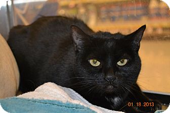 Domestic Shorthair Cat for adoption in Gilbert, Arizona - Boo Boo