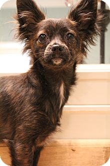Papillon/Chihuahua Mix Puppy for adoption in Hamburg, Pennsylvania - Beezus