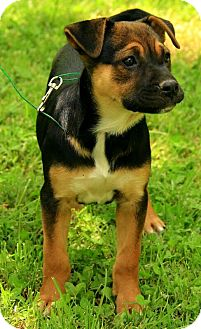 German Shepherd Dog Mix Puppy for adoption in Brattleboro, Vermont - Madison