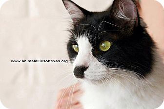 Domestic Mediumhair Cat for adoption in Garland, Texas - Clouseau
