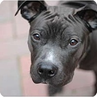 Adopt A Pet :: Bodie - Reisterstown, MD
