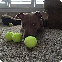 Adopt A Pet :: Sierra - Jacksonville, NC