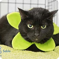 Adopt A Pet :: Sable - Merrifield, VA