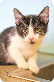 Domestic Shorthair Kitten for adoption in Larned, Kansas - Crackle