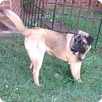 Adopt A Pet :: Bear - Westport, CT