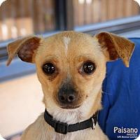 Adopt A Pet :: Paisano - Santa Maria, CA