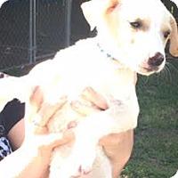 Adopt A Pet :: Chess - Aurora, CO