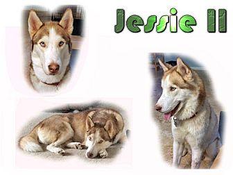 Siberian Husky Dog for adoption in Seminole, Florida - Jessie II