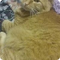 Domestic Mediumhair Cat for adoption in Acushnet, Massachusetts - Skittles