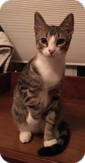 Domestic Shorthair Kitten for adoption in Woodstock, Georgia - Jackson