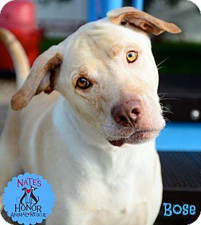 Labrador Retriever Mix Dog for adoption in Bradenton, Florida - Bose