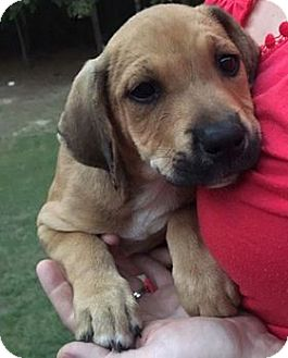 Labrador Retriever/Pointer Mix Puppy for adoption in Salem, Massachusetts - Abbey