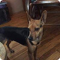Miniature Pinscher Mix Dog for adoption in Coeburn, Virginia - PRANCER