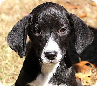 Border Collie/Hound (Unknown Type) Mix Puppy for adoption in Glastonbury, Connecticut - Mamie~ meet me!
