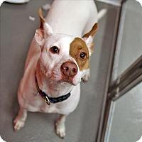 Adopt A Pet :: Chanel - Dallas, TX