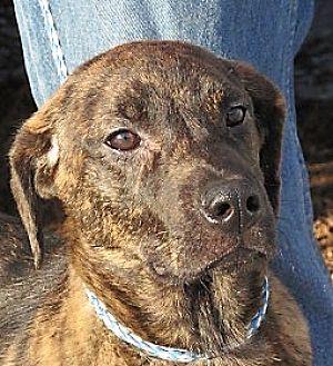 Plott Hound/Labrador Retriever Mix Puppy for adoption in Germantown, Maryland - Teddie