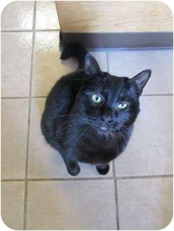 Domestic Shorthair Cat for adoption in Pascoag, Rhode Island - Nikko