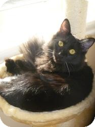 Domestic Mediumhair Cat for adoption in Prescott, Arizona - Quincy