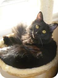 Domestic Mediumhair Cat for adoption in Prescott, Arizona - Quincy