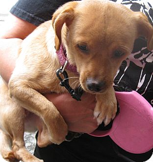 Dachshund/Italian Greyhound Mix Dog for adoption in Randolph, New Jersey - Jelly Bean