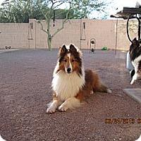 Adopt A Pet :: Stevie Wonder - apache junction, AZ
