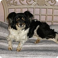 Papillon Mix Dog for adoption in Corona, California - Zoey